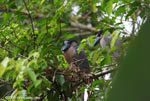 Boatbill Herons (Cochlearius cochlearius) nesting
