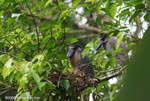 Boat-billed Herons (Cochlearius cochlearius) nesting