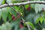 Common Tody-Flycatcher (Todirostrum cinereum)