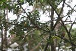 American Pygmy Kingfisher (Chloroceryle aenea) [costa-rica_0649]