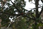 American Pygmy Kingfisher (Chloroceryle aenea) [costa-rica_0651]