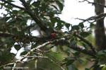 American Pygmy Kingfisher (Chloroceryle aenea) [costa-rica_0651a]