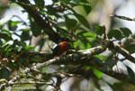 American Pygmy Kingfisher (Chloroceryle aenea) [costa-rica_0655]