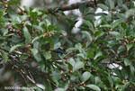 Golden-hooded Tanager (Tangara larvata) [costa-rica_0662]