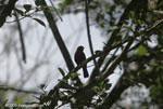 bird [costa-rica_0668]