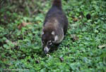 White-nosed Coati (Nasua narica) [costa-rica_0675]