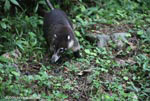 White-nosed Coati (Nasua narica) [costa-rica_0678]