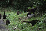 Group of White-nosed Coati [costa-rica_0683]