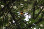 Tawny-capped Euphonia (Euphonia anneae) [costa-rica_0716]