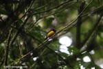 Tawny-capped Euphonia (Euphonia anneae)