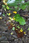 Trail of leaf-cutter ants carrying yellow leaves