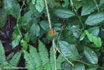 Broad-billed Motmot (Electron platyrhynchum) [costa-rica_0749]