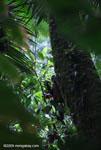 Pregnant spider monkey