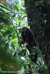 Pregnant spider monkey (Ateles geoffroyi ornatus)