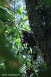 Pregnant spider monkey (Ateles geoffroyi ornatus) [costa-rica_0762]