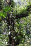 Cloud forest canopy [costa-rica_0769]