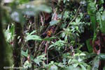 Rufous Motmot (Baryphthengus martii) [costa-rica_0772]