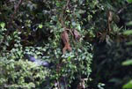 Kinkajou in the rainforest canopy
