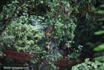 Kinkajou in the rainforest canopy [costa-rica_0801]