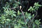 Scarlet-rumped Cacique (Cacicus uropygialis)