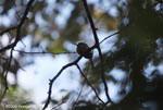 Rufous-tailed Jacamar (Galbula ruficauda) [costa-rica_0849]