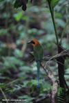 Rufous Motmot (Baryphthengus martii) [costa-rica_0860]