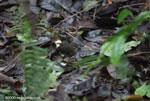 Buff-rumped Warbler (Basileuterus fulvicauda) [costa-rica_0870]