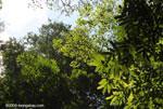 Canopy of the Osa Peninsula rainforest