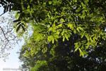 Canopy of the Osa Peninsula rainforest [costa-rica_0961]