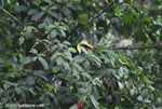 Chestnut-mandibled Toucan (Ramphastos swainsonii) [costa-rica_1014]