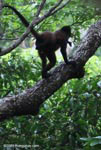Spider monkey with a baby on its back