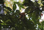 Central American Squirrel Monkey (Saimiri oerstedii) [costa-rica_1035]