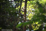 Double-toothed Kite (Harpagus bidentatus) [costa-rica_1044]