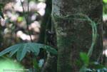Alfaro's Pygmy Squirrel (Microsciuris alfari) [costa-rica_1050]