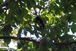 Baby Mantled Howler (Alouatta palliata)