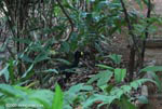 Great Curassow (Crax rubra) [male]