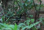 Great Curassow (Crax rubra) [male]