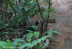 Great Curassow (Crax rubra) [male] [costa-rica_1104]