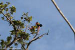 Scarlet macaws atop a cecropia tree