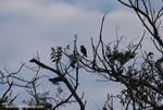 White-crowned Parrot (Pionus senilis) [costa-rica_1159]