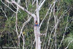 Scarlet macaws nesting in a tree hollow