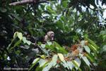 White-faced capuchin [costa-rica_1322]