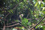 White-faced capuchin [costa-rica_1325]