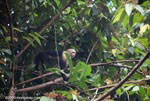 White-faced capuchin [costa-rica_1326]
