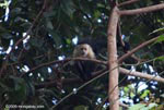 White-faced capuchin [costa-rica_1328]
