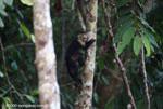 White-faced capuchin [costa-rica_1338]