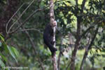 White-faced capuchin [costa-rica_1346]