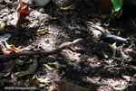 Salmon-bellied racer snake [costa-rica_1389]