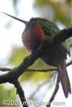 Rufous-tailed Jacamar (Galbula ruficauda) [costa-rica_a_0063]