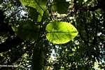 Leaf in the rainforest of Costa Rica